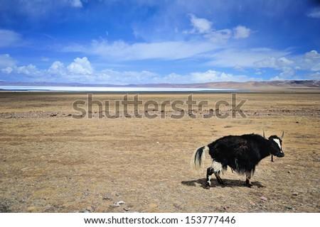 Yak in Tibet - stock photo