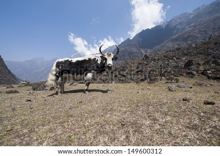 Yak on a pasture in Lang tang, Nepal. - stock photo