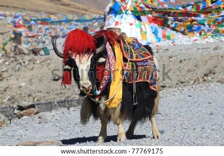 Yak, Tibet - stock photo