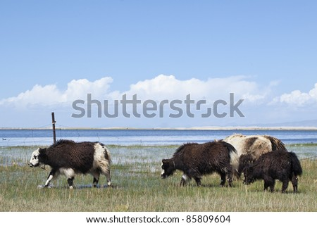 Yaks at the shore of Qinghai Lake - stock photo