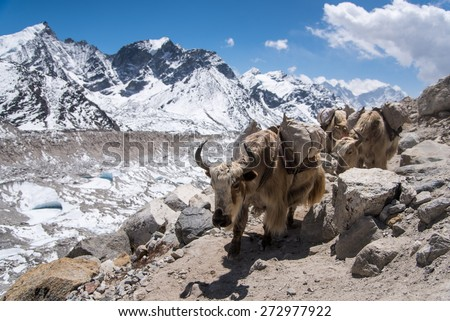 Yaks carrying stuff to Everest base camp, Nepal