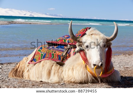 Yaks on the Namtso Lake in Tibet