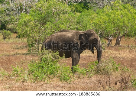 YALA NATIONAL PARK, SRI LANKA - MARCH 4, 2014: Wild elephant commonly found in Yala, the second largest national park in Sri Lanka.