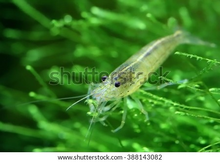 Yamato shrimp on java moss in a planted aquarium