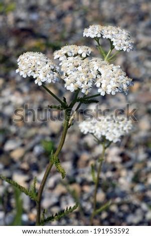 Yarrow, Achillea millefolium - stock photo