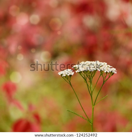 Yarrow - Achillea millefolium flowers closeup - stock photo