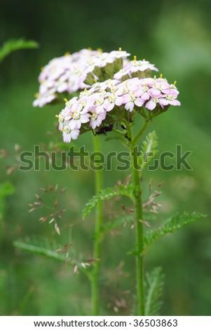 Yarrow flowers (Achillea millefolium) in meadow - stock photo