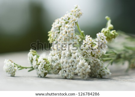 yarrow herbal flowers - stock photo