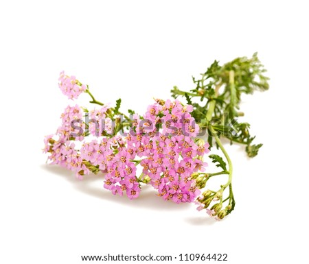 yarrow isolated on white background - stock photo