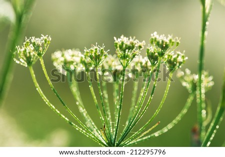 Yarrow plant (Achillea millefolium) at sunrise with drops of dew close-up, some flowers in focus, some are not, toned green - stock photo