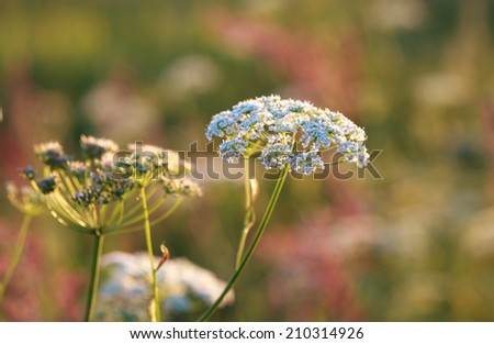 Yarrow plant (Achillea millefolium) in the rays of the setting sun close-up, selective focus - stock photo