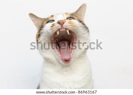 Yawning cat against white background - stock photo