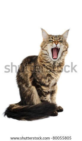Yawning cat isolated on white background - stock photo