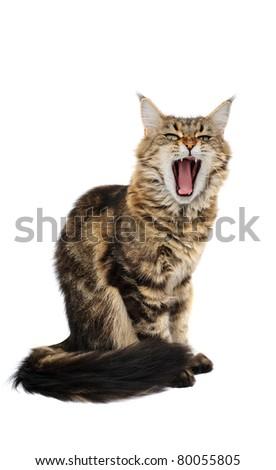 Yawning cat isolated on white background - stock photo