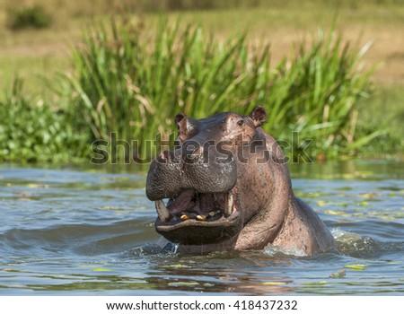 Yawning common hippopotamus in the water.  Africa. Uganda - stock photo