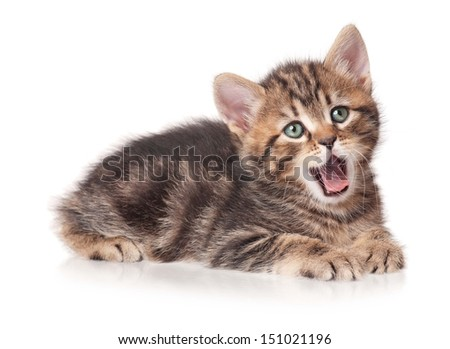 Yawning cute kitten isolated on white background cutout - stock photo