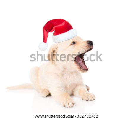 yawning golden retriever puppy dog in red christmas hat. isolated on white background.