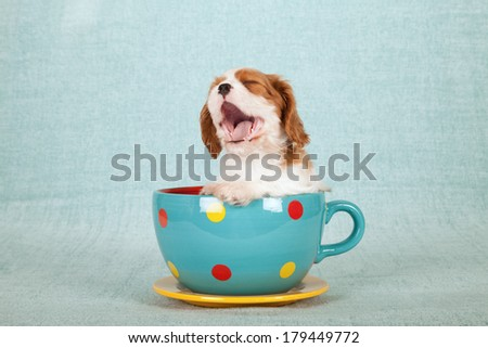 Yawning laughing Cavalier King Charles Spaniel puppy sitting inside large blue polka dot cup with saucer on light green blue background - stock photo