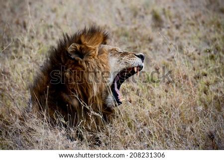 yawning lion, Serengeti, Tanzania - stock photo