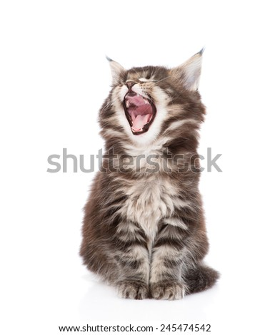 yawning maine coon cat. isolated on white background - stock photo