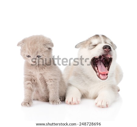 Yawning Siberian Husky puppy dog and small scottish cat together. isolated on white background