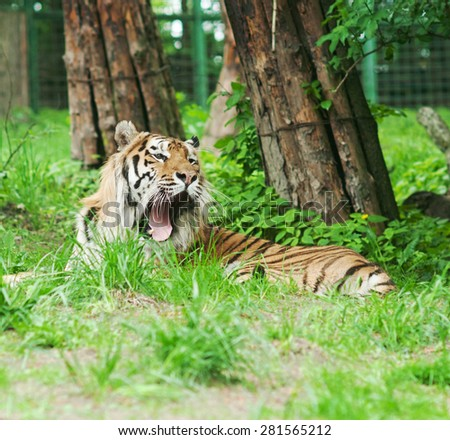 yawning tiger in green leaves at the zoo - stock photo