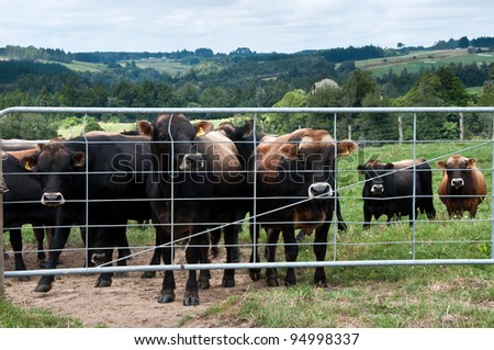 Yearling bulls at a gate waiting to be let through - stock photo