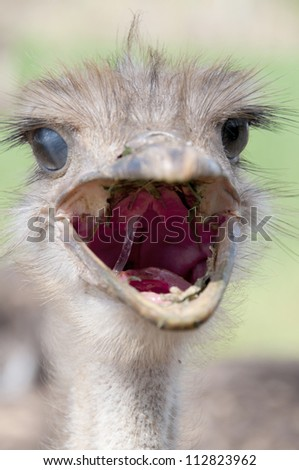 Yelling Ostrich - stock photo