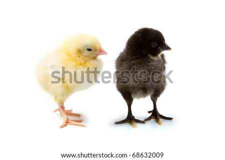 Yellow and black chickens isolated on a white background - stock photo