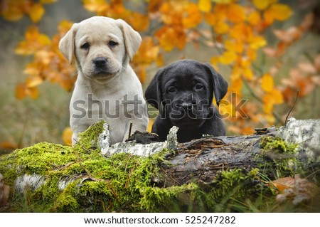 Yellow and black Labrador retriever puppies in autumn scenery