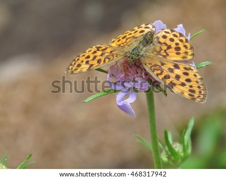 yellow and black spotted butterfly, The Ino Fritillary, Brenthis ino on the purple flower, Pincushion flowers in Mt. Asama, nagano prefecture, Japan.