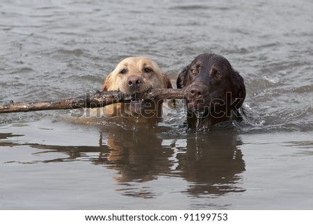 Yellow and Chocolate Labrador Retrievers swim toward shore after fetching a stick. - stock photo
