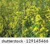 yellow and fragrant tree Mimosa for sale at the market - stock photo