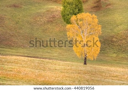 Yellow and green birch in a field - stock photo