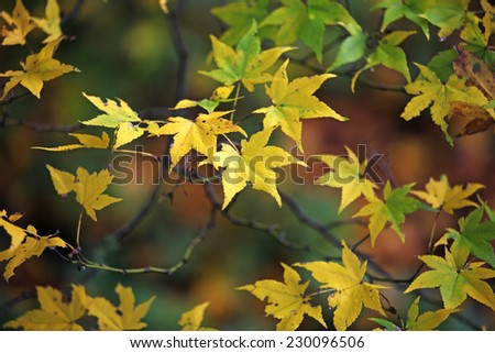 Yellow and green Japanese maple leaves - stock photo
