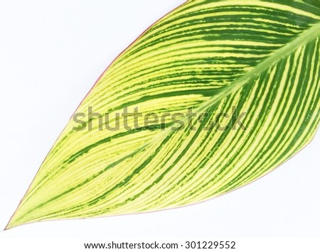 Yellow and green leaf isolated on white. - stock photo