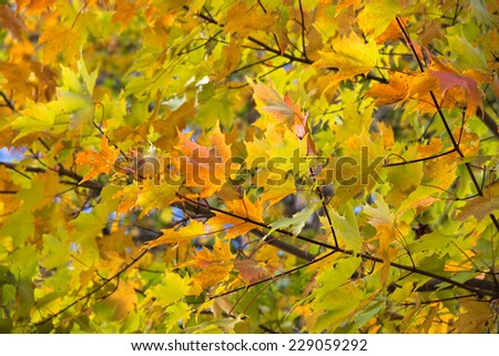 yellow and green leaves at the beginning of folliage season create airy fresh background - stock photo