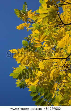Yellow and green leaves on a tree against a blue sky. Autumn.