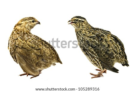 Yellow and grey quails on white background - stock photo