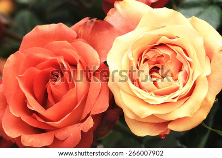 Yellow and orange roses,two beautiful roses in full bloom in the garden in spring,closeup  - stock photo
