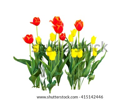 yellow and orange tulips isolated on white background - stock photo
