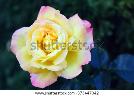 Yellow and pink blend roses (Peace type) in the garden, at  Pra Tum Nak Pupink Royal park Chiangmai, Thailand 2016 - stock photo