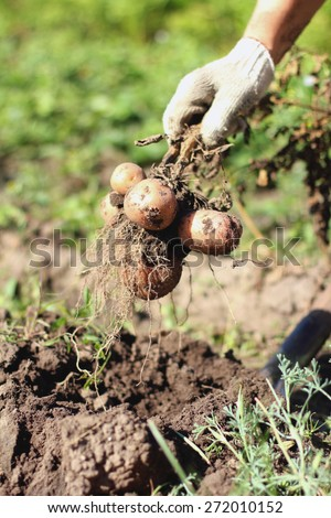 Yellow and pink potato root harvest in hands - stock photo