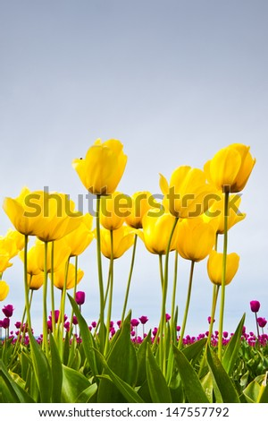 Yellow and pink tulips in Skagit Valley - stock photo