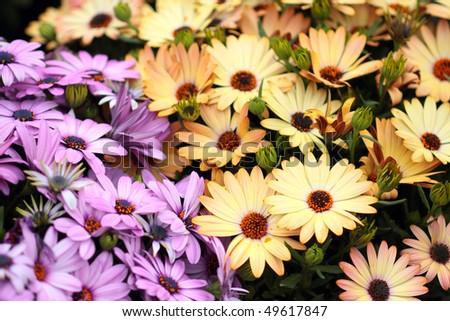 Yellow and purple African daisies, AKA osteospermum - stock photo