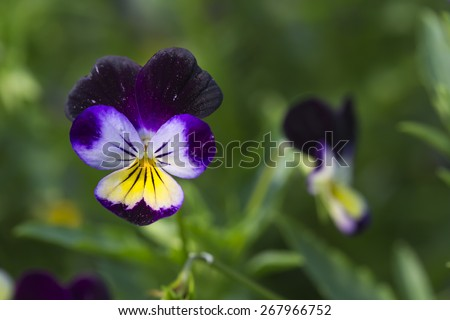 Yellow and Purple Viola Tricolor Pansy flowers with natural Green background - stock photo