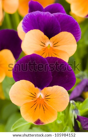 Yellow and purple violet pansy flowers - stock photo