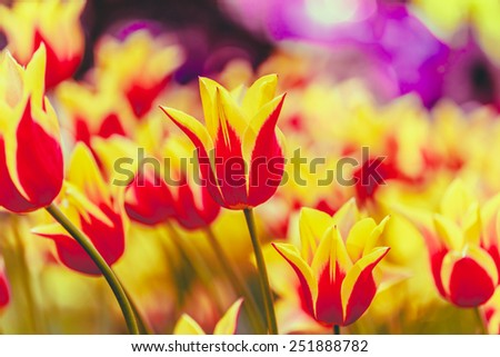 Yellow And Red Flowers Tulips In Spring Garden Flower Bed. Instant Toned Photo - stock photo