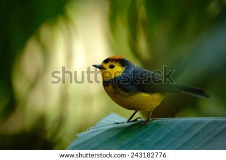 Yellow and red headed songbird Collared Redstart, Myioborus torquatus, Savegre, Costa Rica - stock photo