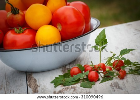 Yellow and red tomatoes in metal bowl and green leaves on old white wooden table in garden on sunny day, healthy nutrition